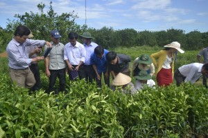 Vườn ươm cam tại thôn Minh Xuân, xã Minh Hợp, huyện Quỳ Hợp