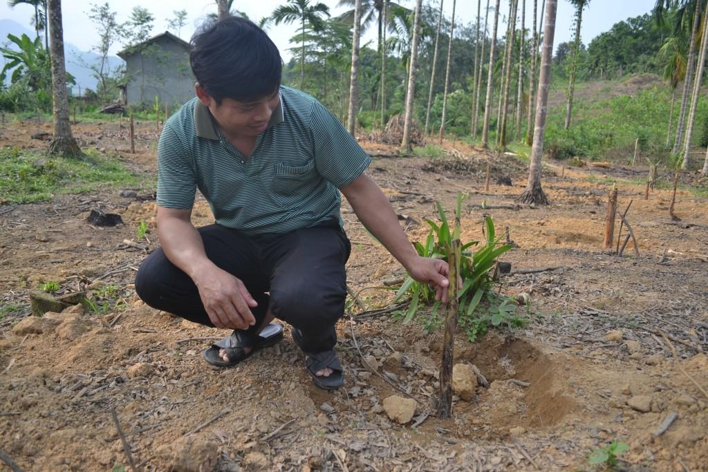 Anh Trân kiểm tra cây chuối sau khi trồng